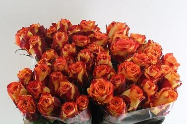 642a98f43ac821 Róża silantoi 50/50 bellisima